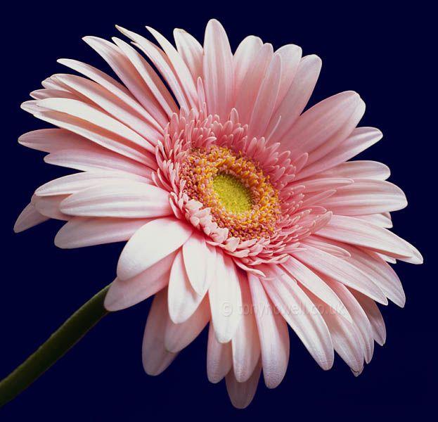 Герберы - Подарочные и праздничные - Цветы - Подарки, сувениры, цветы